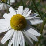fiore camomilla